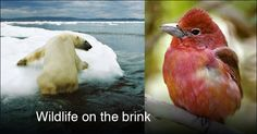 The threats to polar bears are well known. But roughly 60% of more than 300 species of North American birds, such as the scarlet tanager, already are wintering farther north, some hundreds of miles from their former range.