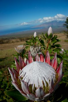 Protea flower, Maui, Hawaii | Flickr - Forrest