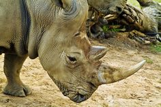 White rhinos have a hump of muscle on their neck and shoulders to hold up a head that can weigh 800 to lbs. Zoo Animals, Animals And Pets, Rhino Pictures, Wild Animal Park, San Diego Zoo, Animal Kingdom, Habitats, Elephant, Creatures
