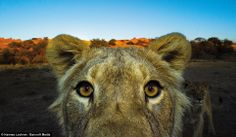 Close up: Fearless lions could easily take Luna's cubs is the opportunity arose