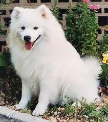 """http://obedient-dog.net/dog-breeds/american-eskimo-dog-training-secrets.html  If you want to know how to train an American Eskimo Dog, your best solution is the new """"American Eskimo Dog Training Secrets"""" eBook. With the """"American Eskimo Dog Training Secrets"""" you will learn how to train an American Eskimo Dog. If you know how to train an American Eskimo Dog your dog will obey all your rules."""