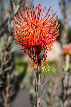 Detailed pincushion in full bloom. Vibrant Colors, Colours, Crashing Waves, Trees To Plant, Property For Sale, South Africa, Bloom, Real Estate, Pearl