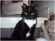 Bogey is an adoptable Tuxedo Cat in New York, NY. Bogey, the dashing tuxedo boy, he too was abandoned in the streets. Not only is he great eye cand, but he's a friendly, funny boy, very animated in th...