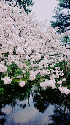 Cherry blossoms at the Kenroku-garden, Kanazawa, Japan