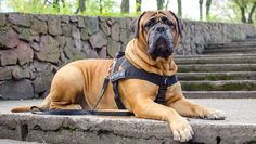 Top 5 guard dogs in the world These are the top guard dogs in the world. Bullmastiff German Sheperd Doberman Pinscher Rottweiler Akita Music : Rubix Cube by . Dog Control, Education Canine, Doberman Pinscher, Dog Harness, Akita, Beautiful Dogs, Rottweiler, Dog Grooming, Dog Owners
