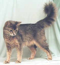 Somali Cat With Green Eyes | Cats of the forest... can you survive here?