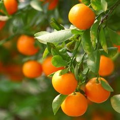 Clementine orange, also known as Christmas Orange