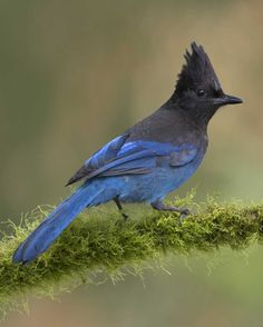 Steller's Jay (Pacific Coast variety pictured)