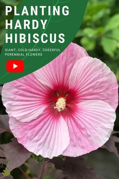 Short video about planting hardy hibiscus in a sunny spot in the garden. Here's all about how to plant hardy hibiscus and some of the most popular plant series to choose from #hibiscus #coldclimate #gardening #pinkflowers Hardy Perennials, Flowers Perennials, Planting Flowers, Flower Gardening, Organic Mulch, Organic Gardening Tips, Cold Climate Gardening, Vegetable Garden Tips, Giant Flowers