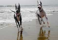 How Fast can Great Danes Run?Click the picture to read