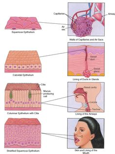 Epithelium: Surfaces of the Body. Shows the different types of epithelial cells of the integument and where they are found in the body. From the Merck Manual Home Health HandBook.