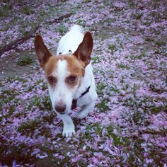 Tom court vers sa #dogsitter @jackrussel  Www.dogsitting-lille.fr