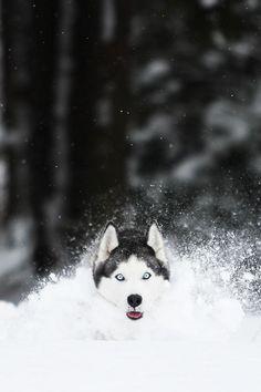 #Siberian #Husky is snow