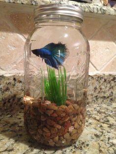 Betta fish in a mason jar-- I used a half gallon jar, but a quart ...