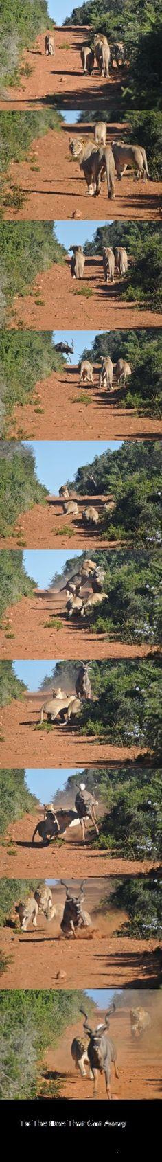 That's how you do it. Great Stuff  #Elephants #Lions #Giraffe #Leopards #Crocodiles #Zebras #Deer #Buffalo #Bison #Bears #Caribou #Wolves #Whales #Seals #Sharks #Polar Bears #Rhinoceros #Hippopotamus