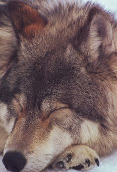 Time to be like a sleeping wolf Good Night Wolf Love, Wolf Spirit, Spirit Animal, Wolf Pictures, Animal Pictures, Beautiful Creatures, Animals Beautiful, Sleeping Wolf, Sleeping Beauty