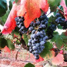 #alicantebouschet #autumn #beauty just before #harvest #herdadesaomiguel #vintage2015 — at Casa Alexandre Relvas - Herdade São Miguel.