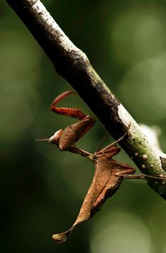 South American Dead Leaf Mantis (Acanthops falcataria)