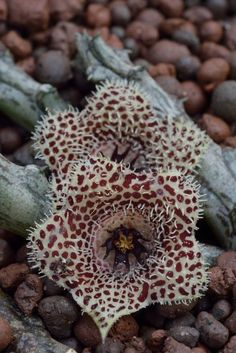 Stapelianthus madagascariensis in flower