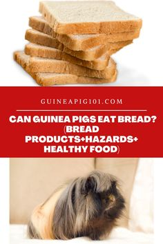 Can Guinea Pigs Eat Bread? (Bread Products+Hazards+Healthy Food) (Good or Bad? Find out!) I how to care for pet guinea pigs I pet guinea pig care I small animal care I guinea pig information I information on pet guinea pigs I what to do with pet guinea pigs I things to know about pet guinea pigs I pet guinea pig tips I care tips for pet guinea pigs I small pet homes I guinea pig cages I what can guinea pigs eat I food for guinea pigs I #guineapig #guineapigfoodplan #smallpets #pets Guinea Pig Food, Pet Guinea Pigs, Guinea Pig Care, Foods To Avoid, I Foods, Guinea Pig Information, Pigs Eating, Healthy Food