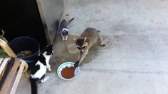 Raccoon stealing cats food
