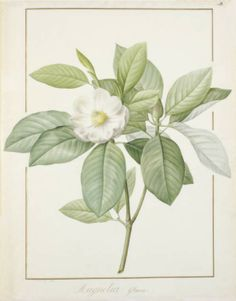 Title:  Magnolia glauca  Maker:  Redouté, Pierre Joseph; draughtsman; Flemish, 1759-1840    Category:  drawing  Name:  drawing    Date:  1811  School/Style:  French  Technique:  watercolour