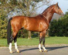 Belgian warmblood stallion, Dexter R. STB.