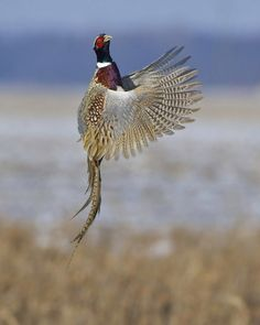 http://www.audubonmagazine.org/multimedia/2013-photo-awards-top-100  Ring-necked pheasant, by Jim Ridley