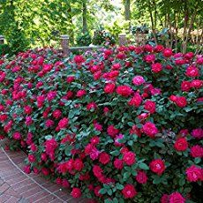 Rose Garden Knockout Roses Care: How To Care For Knock Out Roses - - Knockout Roses care is easy, we share 5 smart tips on growing, caring for and shaping beautiful knock out roses bushes and trees. [HOW TO GUIDE] Knockout Roses Care, Double Knockout Roses, Pruning Knockout Roses, Knockout Rose Tree, Rose Bush Care, Rose Care, Garden Care, Garden Pond, Garden Tips