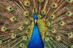 Peacock-1 by Adnan Khan on 500px #peacock
