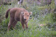 Atena, baby european bison born in Parco Natura Viva, Bussolengo, Verona (Italy) August 2015. Author: Parco Natura Viva http://www.parconaturaviva.it/
