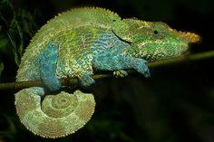 Short Horned Chameleon Gif   Sean Crane Photography Blog