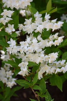 Find Chardonnay Pearls® Deutzia (Deutzia gracilis 'Duncan') in Toronto Etobicoke Mississauga Vaughan Brampton Ontario ON at Plant World (Slender Deutzia)