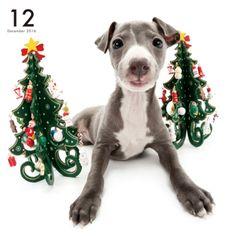 Artlist Collection Italian Greyhound calendar
