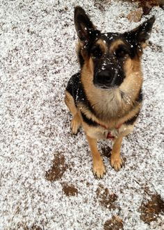 Our family dog will definitely be a German Sheppard! My husband's favorite :)