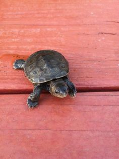baby turtle <3