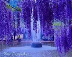 噴水 紫に囲まれて✨2017.5.13 #白井大町藤公園 #兵庫県朝来市 #日が沈む #噴水 #紫色 #藤棚 #藤の花 #ライトアップ前 #幻想的な世界 #はなまっぷ #はなまっぷ藤 #はなまっぷ2017 #airly_pics #naturelovers #bestjapanpics #flowerstagram #flowerslovers #flower_special_ #splash #igersjp #jp_gallery #phos_japan #team_jp_西 #ファインダー越しの私の世界 #カメラ好きな人と繋がりたい #写真好きな人と繋がりたい #花撮り隊 #nikond5300 http://gelinshop.com/ipost/1514807387842716705/?code=BUFrUsfgKQh