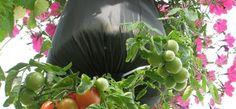 Conoce cuáles son los vegetales y hierbas que podrás hacer que vuelvan a crecer fácilmente y sin tierra.