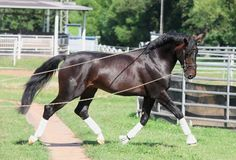 Groundwork with Your Dressage Horse. Two world-class trainers, Stefan Schneider and Uta Gräf,  explain their methods for teaching the horse respect and self-assurance.