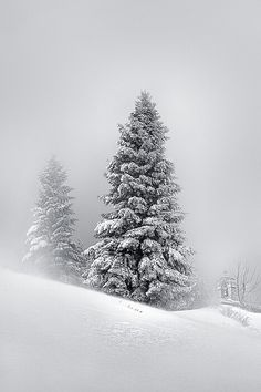 Snowy pinetrees.