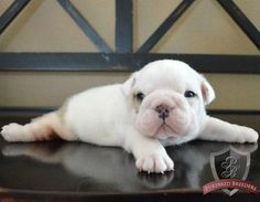 Bulldog puppy - Tator
