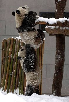 Why not help a #friend out this winter by keeping them stylishly warm with a gift from Morlands Glastonbury Limited!   #panda #help #snowy #climb  http://www.morlandssheepskin.co.uk/