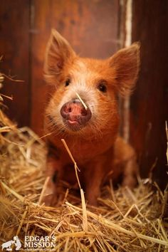 Little pig.so cute Baby Pigs, Pet Pigs, Mundo Animal, My Animal, Beautiful Creatures, Animals Beautiful, Farm Animals, Cute Animals, Teacup Pigs