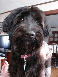 Schnoodle . O she's gorgeous I love schnoodles eyes