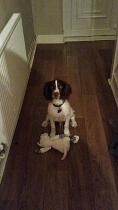 English springer spaniel puppy <3