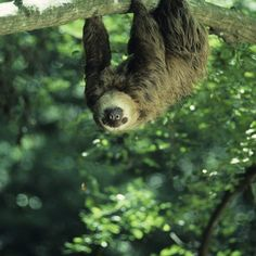 Spot sloths in the rain forest on a day trip from Puerto Limon, Costa Rica.