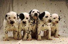 <3 Dalmatian puppies!!