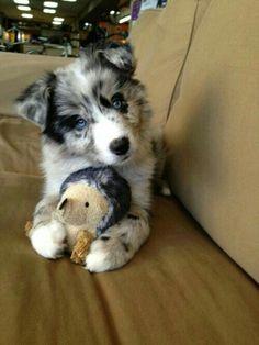 Cool Australia Chubby Adorable Dog - 76d8cd669de597e0eb5031e04f15b03c--blue-merle-australian-shepherd-australian-shepherd-puppies  HD_642917  .jpg