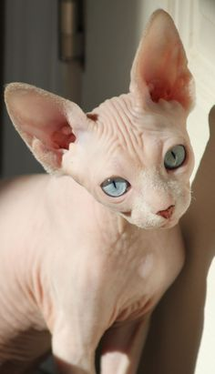 Sphynx kitty-- if I ever get a cat this is the only breed I would consider getting.