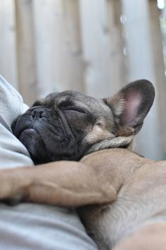 i can't wait to have a french bulldog of my very own <3